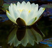 Water Lilly by John Holding