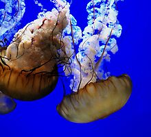 Jellyfish. by Amanda Brix