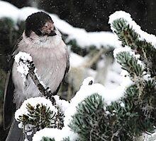 Winter Gray Jay by Tori Snow