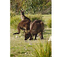 Grazing Kangaroos at Flinders Chase National Park, Kangaroo Island Photographic Print