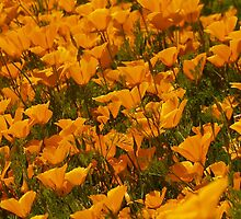 Poppies, Lovely Poppies by the57man