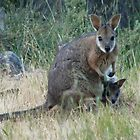 Tammar Wallaby & Joey at Baudin Conservation Park - Kangaroo Island, South Australia by Dan & Emma Monceaux