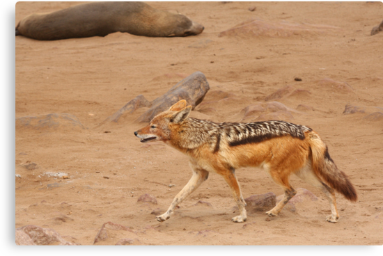 Black-backed Jackal ~ Namibia by ChrisCoombes