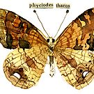 Phyciodes Tharos (Pearl Crescent Butterfly) by Carol Kroll