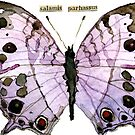 Salamis Parhassus (Mother-of-Pearl Butterfly) by Carol Kroll