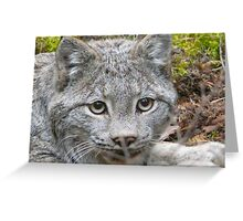Canadian Lynx,,in the wild Greeting Card