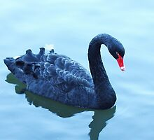 black beauty swimming by xxnatbxx