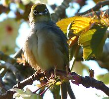 Do you mind, I'm preening here! - Silvereye - NZ by AndreaEL