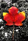 Fallen Leaf - Blank Greeting Card by Marcia Rubin