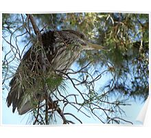 Black-Crowned Night Heron ~ Juvenile Poster