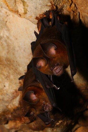 Roundleaf Bats by naturalnomad
