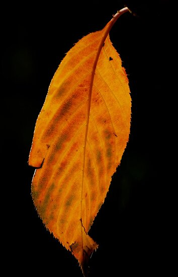 sunlight through autumn leaves  by Michelle Crouch