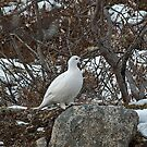 Ptarmigan by Sally Winter