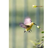 Dinner on the run - sunbird feeding Photographic Print
