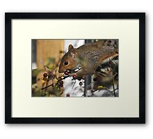 grey squirrel caught in the act Framed Print