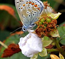 common blue butterfly Polyommaturus icarus by Grandalf
