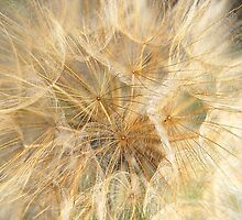 Blowball - Dandelion by vbk70