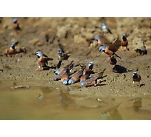 Black-throated Finches  Photographic Print