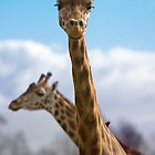 A fine pair of giraffes by Ian Salter