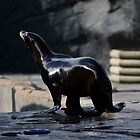 Sea lion at woburn by Ian Salter