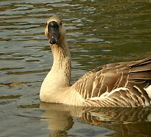 Aflac-The Geese at War Eagle, N.W. Arkansas by David  Hughes