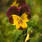Pansy by zzsuzsa