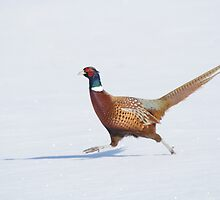 Ring-Necked Pheasant, Wolfe Island, Ontario by Stephen Stephen