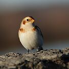 Snow Bunting in Late Afternoon Light by Bill McMullen