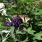 Tiger Swallowtail on Butterfly bush by Lorrie Davis