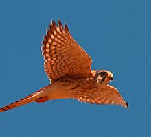 101610 American Kestrel by Marvin Collins