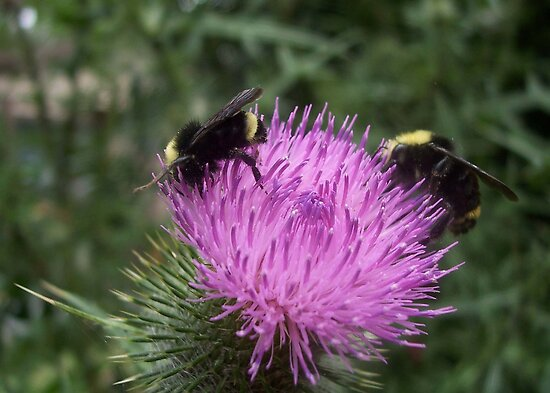 Thistle Bumble Bees by Lorrie Davis