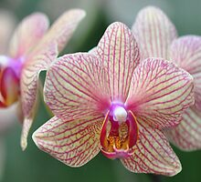 World of Orchids  Plate # 36 by Matsumoto