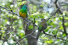 Red-rumped Parrots by Ian Berry