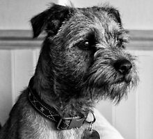 Dylan. Border Terrier by PeterBez