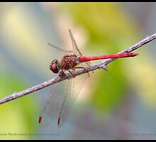 Autumn Meadowhawk... by pieceoflace
