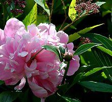 Pink Peony by Joanne Emery