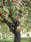 Crabapple Tree in the Morning Sun by Barberelli