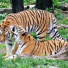 Tiger Love by Linda Long