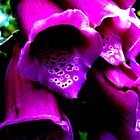 Foxgloves by blueclover