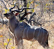 Kudu, South Africa by Margaret  Hyde
