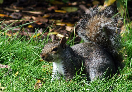 Grey squirrel at Kew Gardens by Joanne Emery
