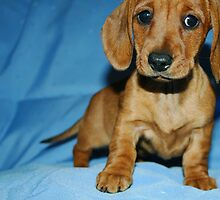 Mini smooth dachshund puppy by Joanne Emery