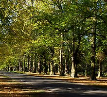 Lime Tree Avenue by saxonfenken