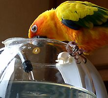 The Jug is nearly full! - Sun Conure - NZ by AndreaEL
