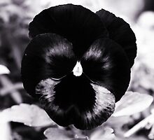 Black Pansy by DDLeach