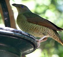 Satin Bowerbird(female) by triciaoshea