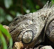 The sweet life of an Iguana by tc5953