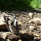 Basking Butterfly by tc5953