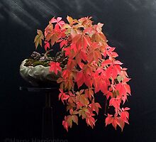 Parthenocissus quinquefolia/Virginia Creeper Bonsai by Harry Harrington