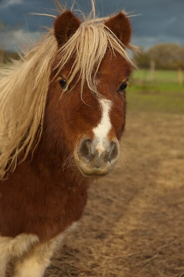 shetland pony by David Ford Honeybeez photo